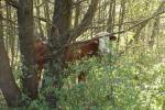 Maskovaná kráva